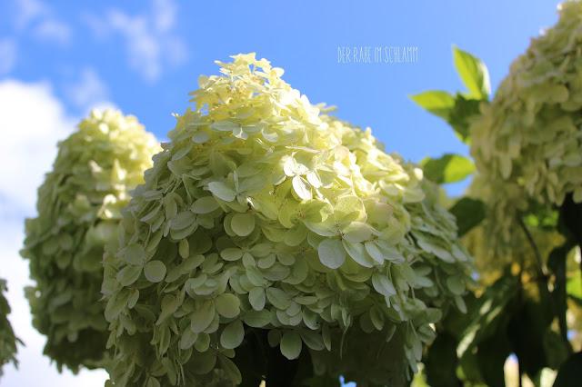 Rispenhortensie, Hortensie, Hydrangea, in my garden