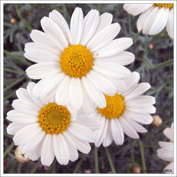 blüten © sylvia • sro 2015