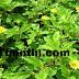 கருகரு கூந்தல் வளர்ச்சிக்கு கரிசலாங்கண்ணி | Karicalankanni embryo fetal hair growth !