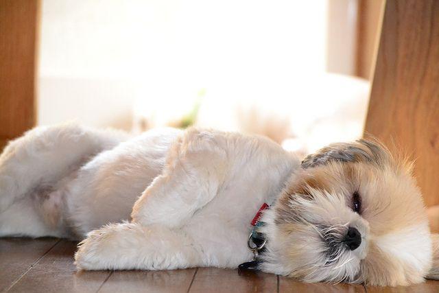 Como ensinar o shih tzu dormir na caminha