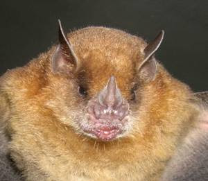Little yellow shouldered Bat
