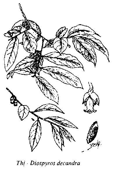 Hình vẽ Thị - Diospyros decandra - Nguyên liệu làm thuốc Chữa Bệnh Tiêu Hóa