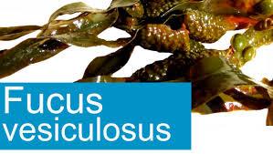 Dieta del Té con Alga fucus vesiculosus