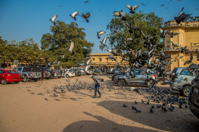 Pigeons around City Palace Jaipur
