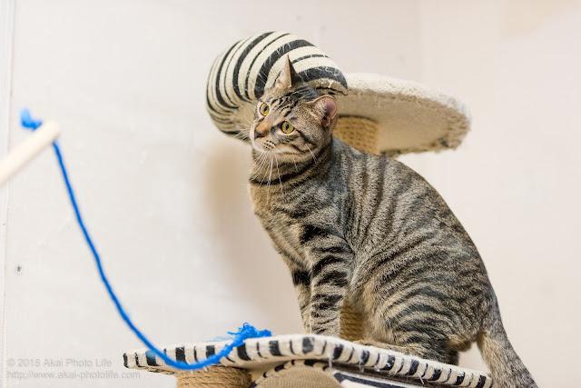 猫カフェ西国分寺シェルターにいた警戒心が強いキジトラが紐で遊ぼうか迷っている瞬間の写真 二枚目