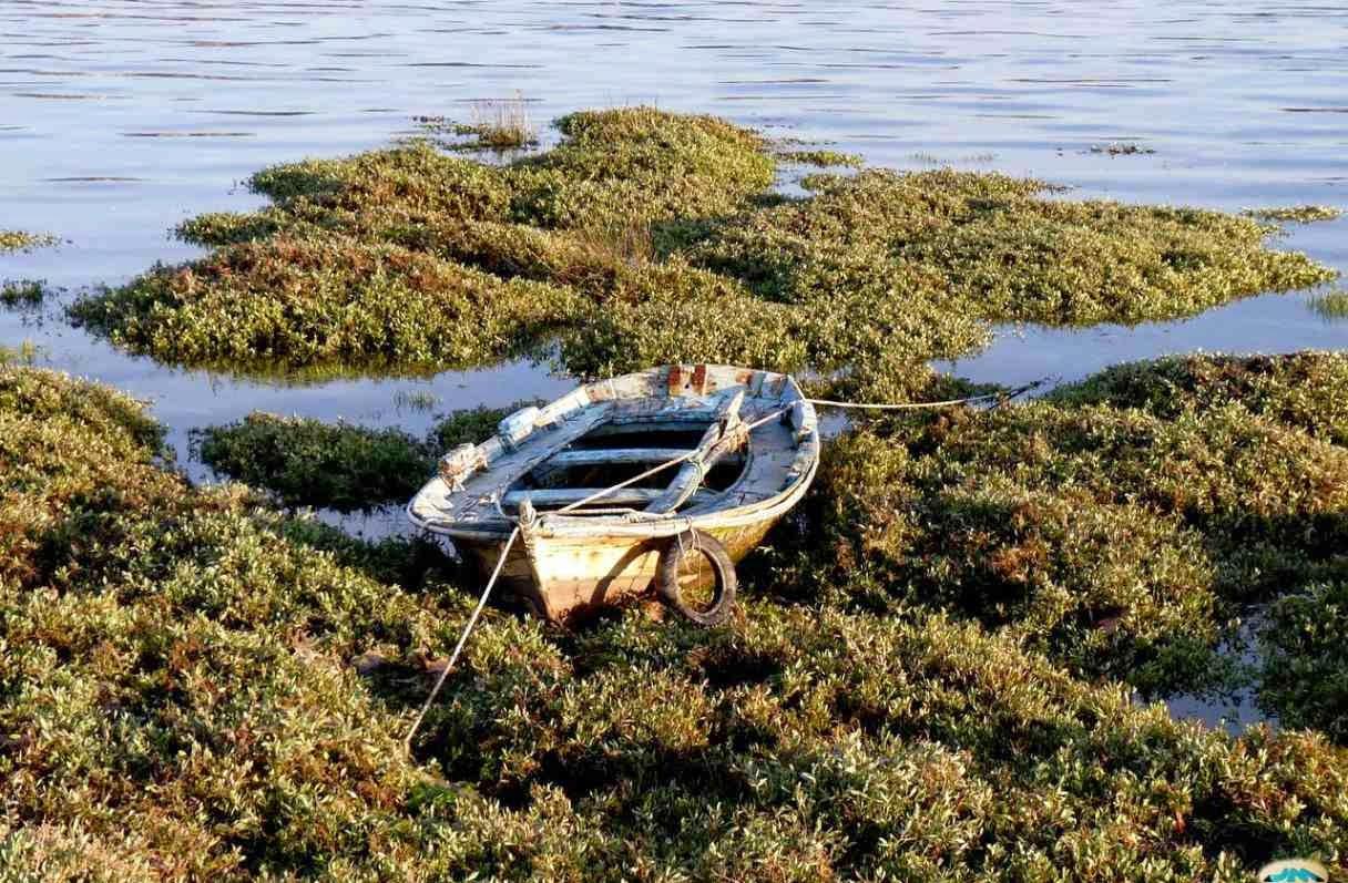 Barca varada en algas
