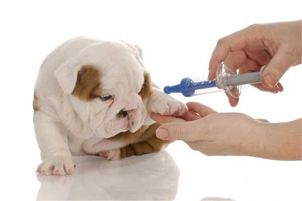 Chủ sẽ bị phạt tiền nếu không tiêm vacxin cho chó