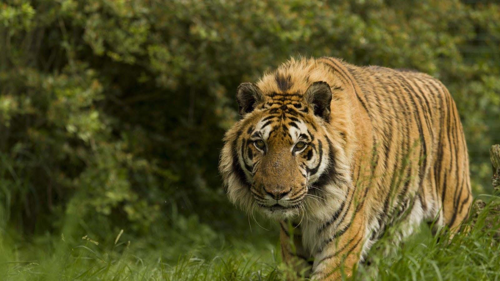 hewan-gambar-bagus-koleksi-harimau
