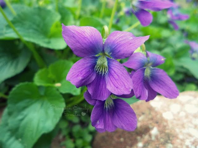 Purple Wild Violets