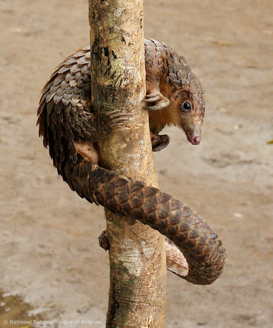Pangolins at huge risk as study shows dramatic increases in hunting across Central Africa