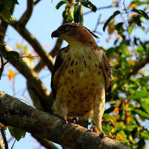 Indian birds - Image of Mountain hawk-eagle - Nisaetus nipalensis