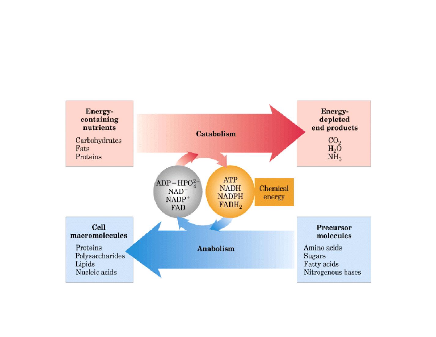 METABOLISMO - Biotech02 appunti