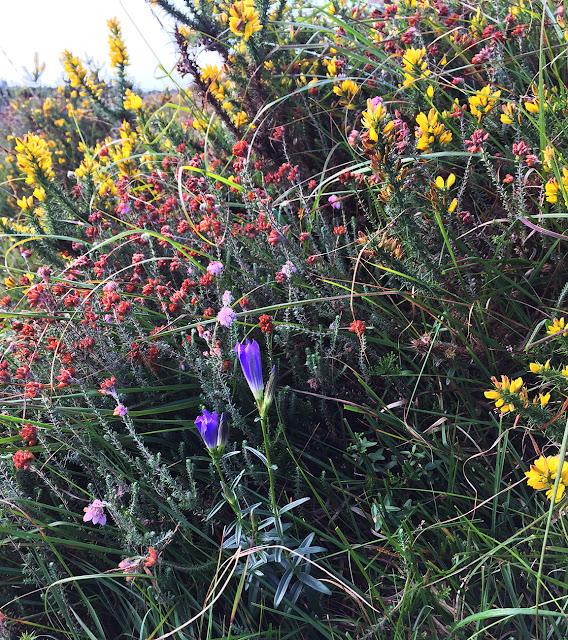Marsh Gentian, Gentiana pneumonanthe.   Ashdown Forest, 31 August 2017.