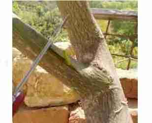 Εμβολιασμός των καρποφόρων δένδρων
