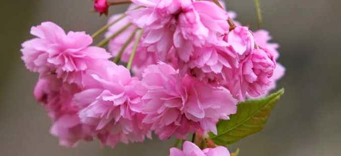 pink double flowered ornamental cherry