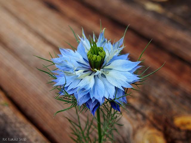 jadalne kwiaty czarnuszki damasceńskiej