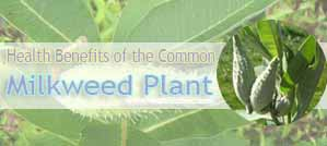 Health Benefits Milkweed Plant