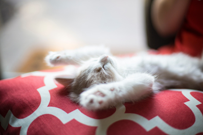 white cat lying on its back with paws in the air
