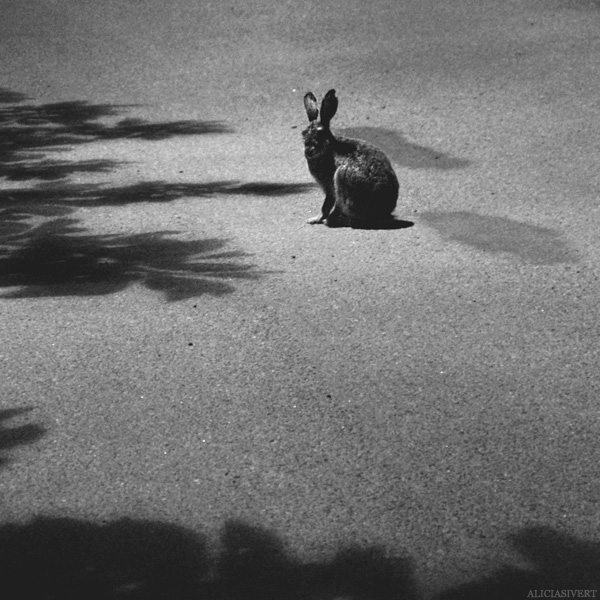aliciasivert, alicia sivertsson, rabbit, bunni, animal, black and white, black & white, b&w, b/w, shadow, shadows, night, evening, natt, kväll, kanin, hare, svartvitt