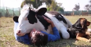 Cuddling A Cow Is The New Fashion Of People Who Want To De-stress
