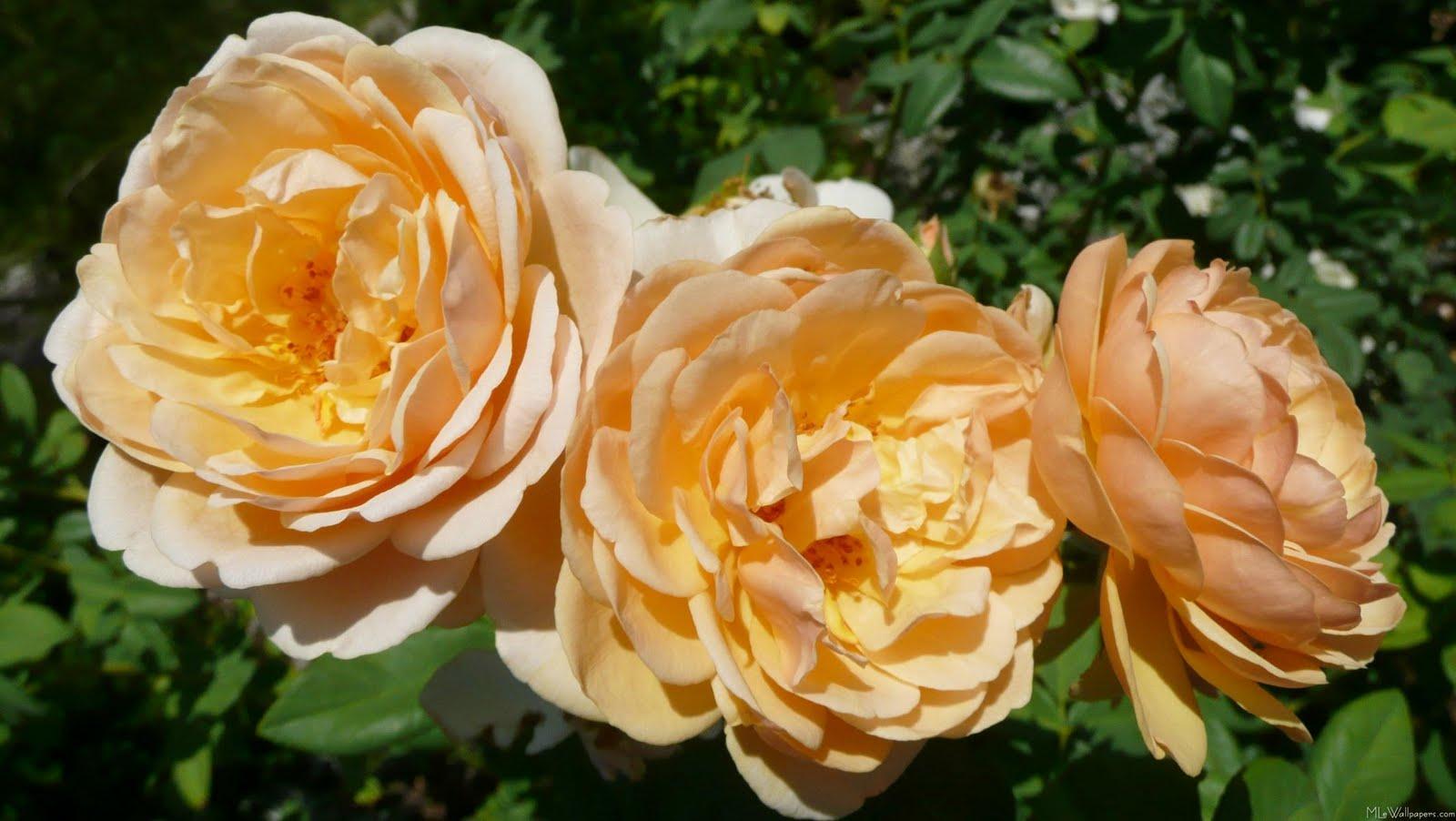 Wedding flowers peach roses - Peach rose wallpaper ...