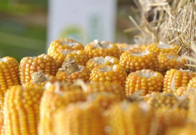Sem informar consumidores, Ambev, Itaipava, Kaiser e outras marcas trocam cevada pelo milho e podem estar levando à ingestão inconsciente de OGMs