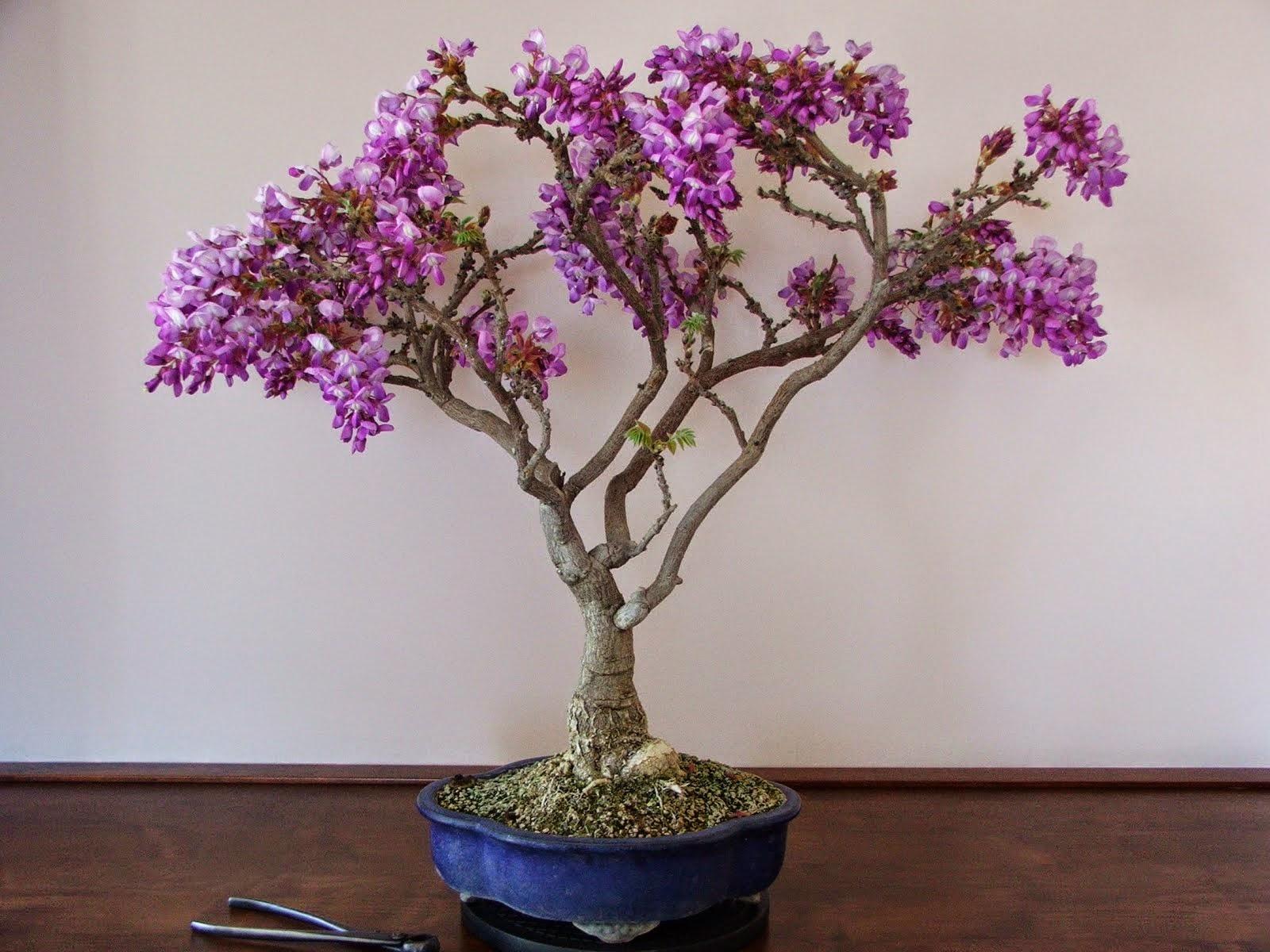 http://evoluzionebonsai.blogspot.it/2012/04/bonsai-di-glicine-wisteria-floribunda.html