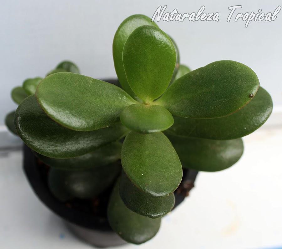 Planta conocida como Árbol de Jade, Crassula ovata