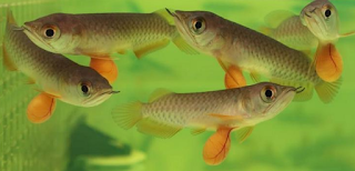 Harga ikan arwana anakan di setiap tempat berbeda beda Kabar Terbaru- HARGA IKAN ARWANA ANAKAN