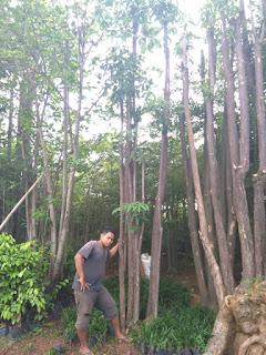 Kami tukang Taman murah menjual pohon pule, pulai, lame dengan hargaharga murah dan bergaransi.