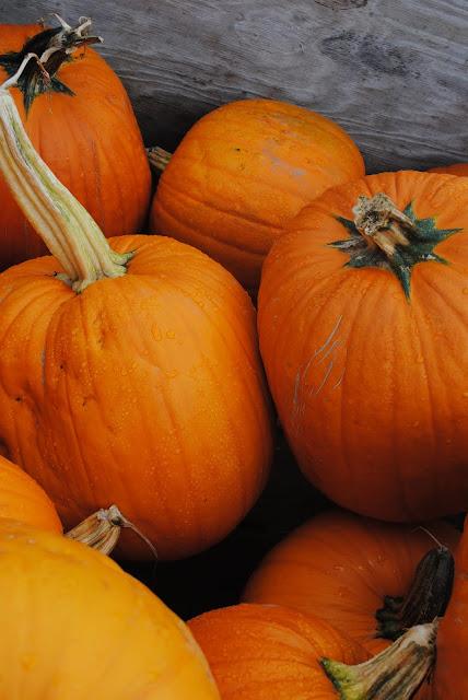pumpkin-patch- sauvie-island-oregon