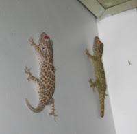 Philippine tuko lizards