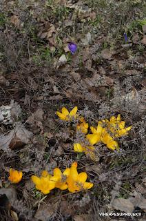 Kevään ensimmäiset krookukset