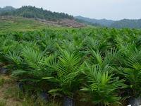 Cara Ampuh Meningkatkan Produksi Kelapa Sawit