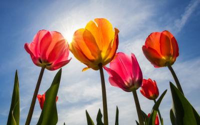 Tulips Blossom - Fond d'Écran en Ultra HD 4k 2160p