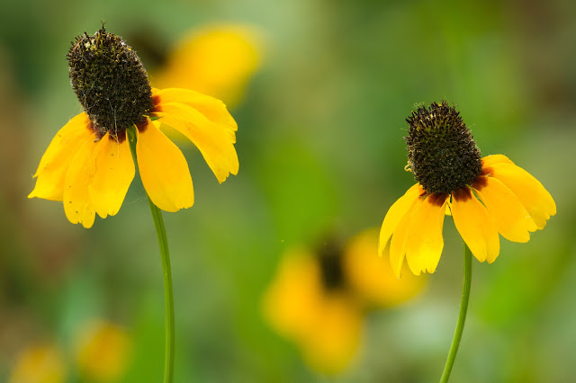 Prairie Coneflower, Clear Creek Natural Heritage Center