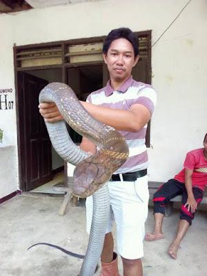 Ular King Cobra Raksasa yang Langka Ini Hebohkan Warganet, Bikin Merinding!