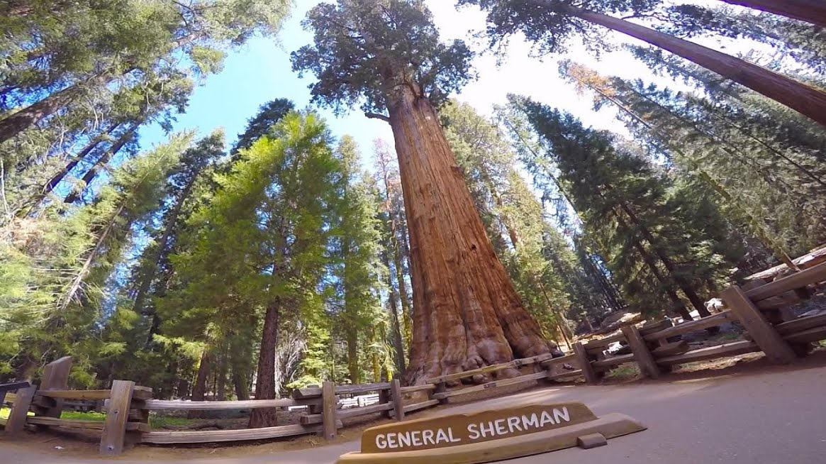 Clonata con successo sequoia per combattere il Cambio Climatico