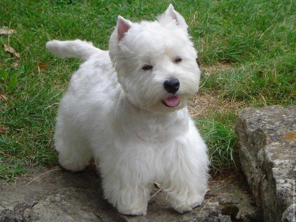Blog de Perros Miniaturas: West Highland White Terrier Westie,