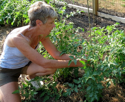 how to grow tomatoes properly and correctly