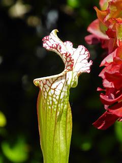 Saracennia plants in Leslie Harris' garden