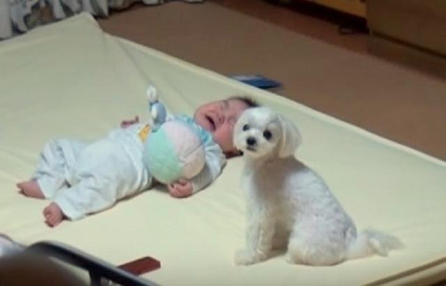Esto fue lo que Hizo este Pequeño Cachorro cuando el Bebé se puso a Llorar