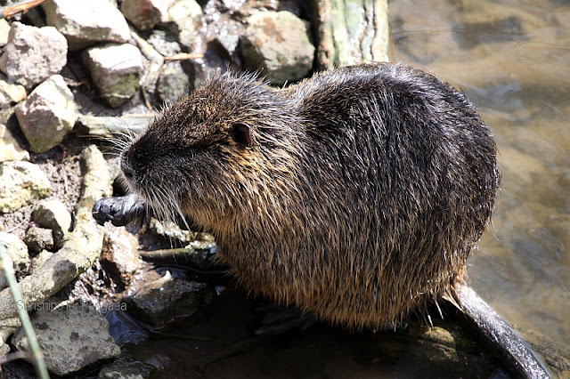 Coypus in Halle(Saale) Germany