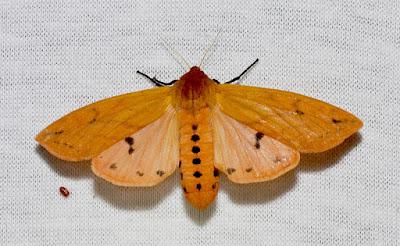Isabella Tiger Moth adult woolly bear caterpillar