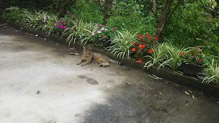 寝転んでいるキジトラ猫