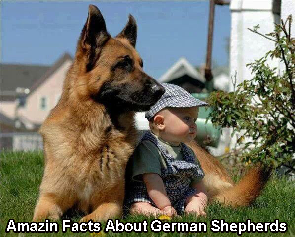 Amazin Facts About German Shepherds
