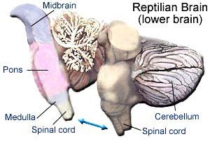 sistem syaraf reptil