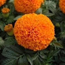 bunga marigold oranye toko bunga54