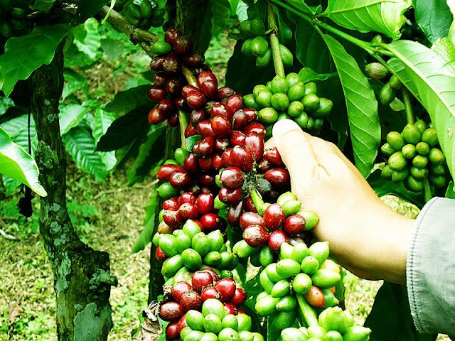 Kalikltak plantation banyuwangi east java, Kaliklatak Coffe Plantation.