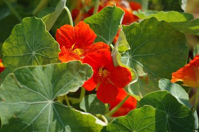https://pixabay.com/pl/kwiat-pomara%C5%84czy-nasturcja-bloom-3492274/